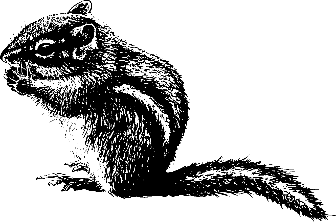 Chipmunk2.png 1,329×879 pixels