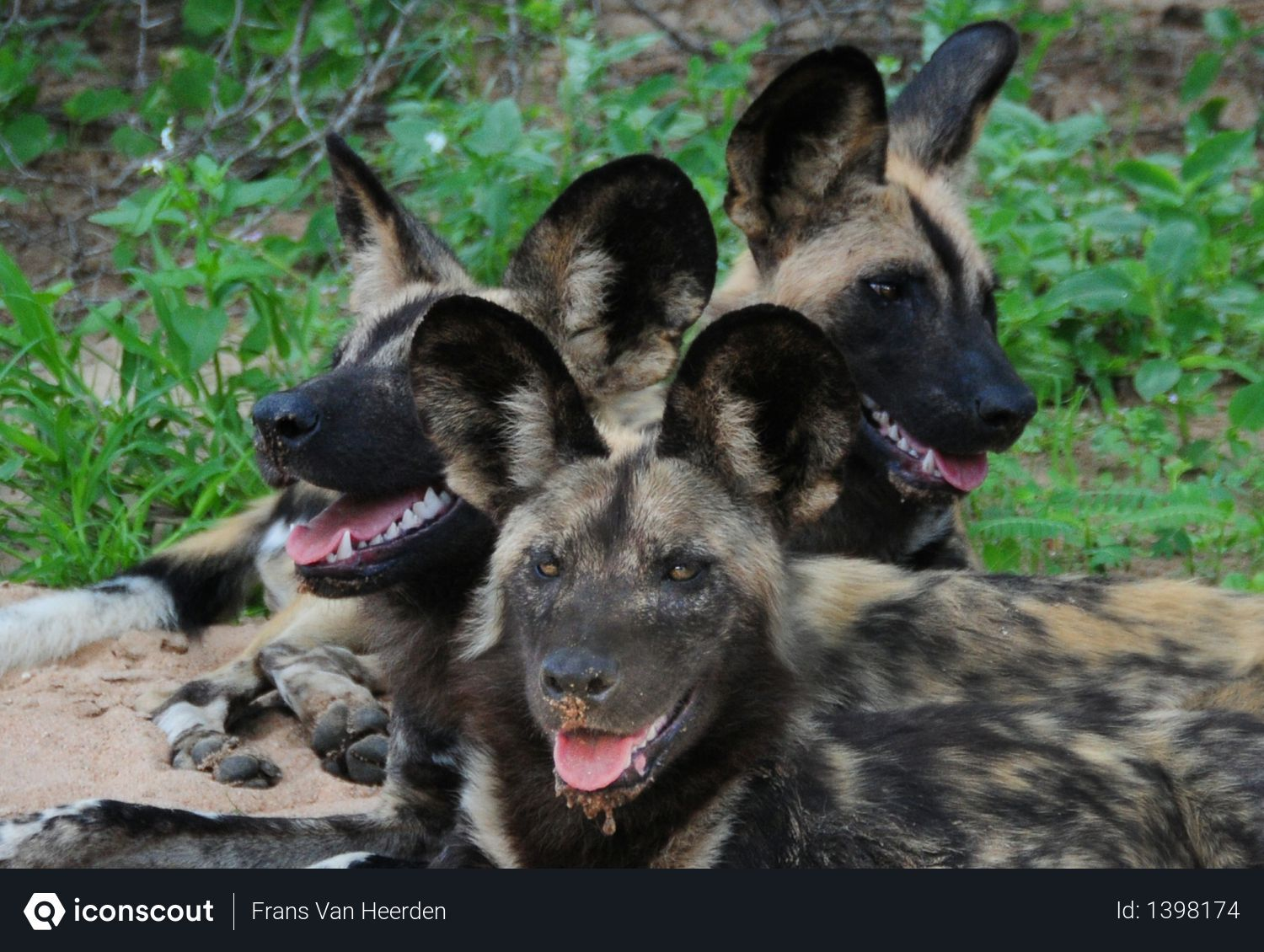 Free African wild dog Photo download in PNG & JPG format | Wild ...