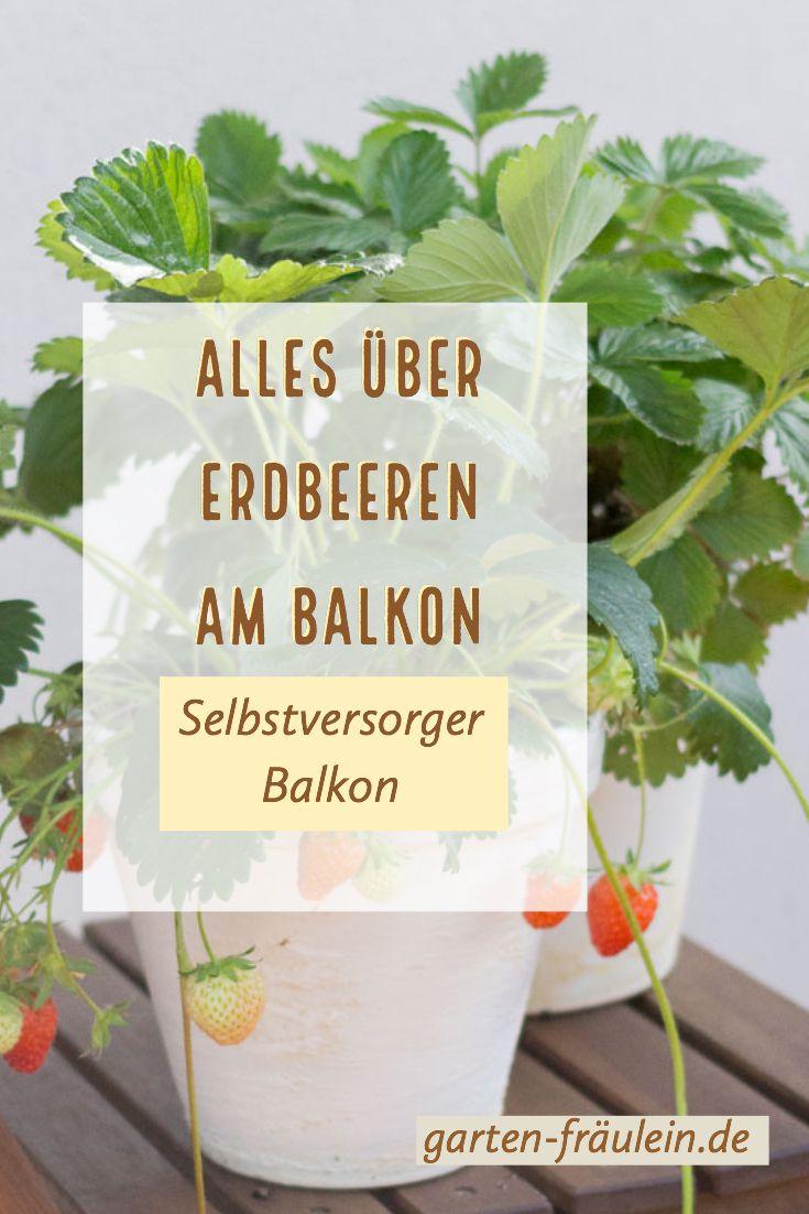 Selbstversorger Balkon: Erdbeeren