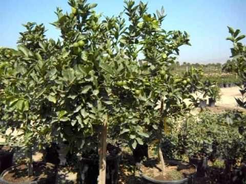 bearss seedless lime tree - Google Search