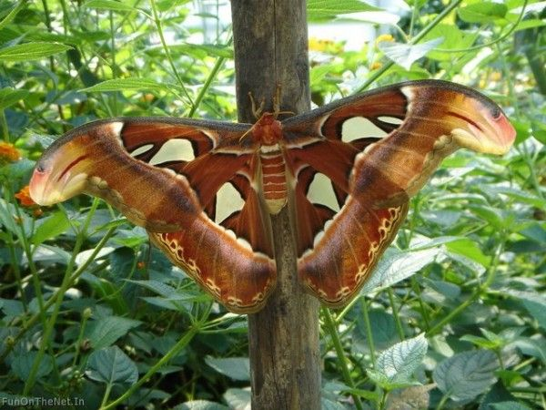 Bilder Von Der Atlas Motte Der Weltweit Largest Butterfly Big Butterfly Atlas Moth