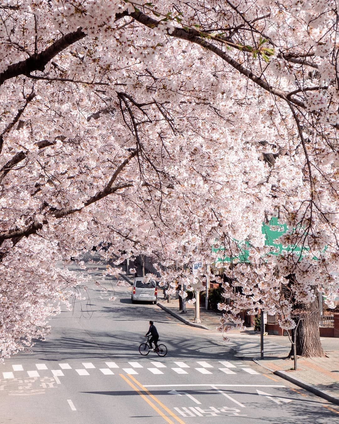 Korean Adventure On Instagram Cherry Blossom Season Is One Of The Best Times To Visit South Korea All Of The Pla Korea Travel South Korea Travel South Korea