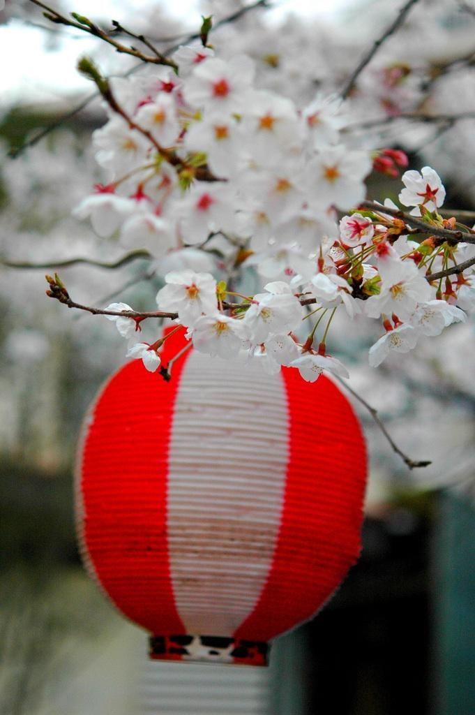 Hanami Sakura Cherry Blossom Viewing in Hiroshima City
