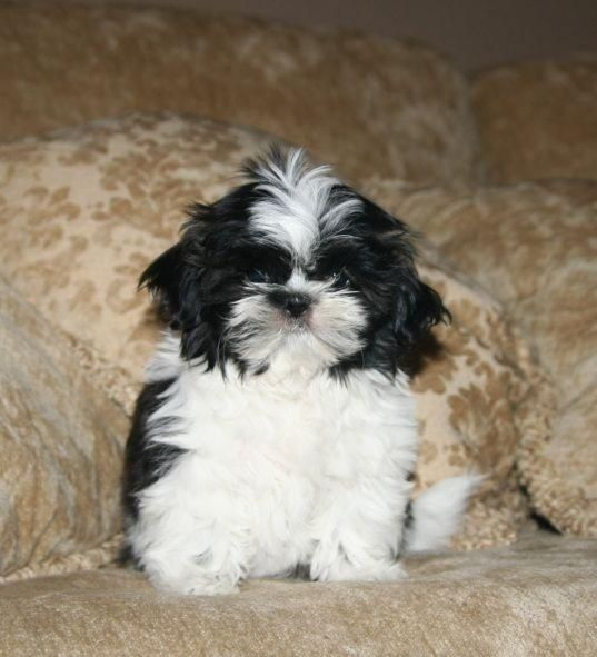 Shih Tzu Pictures Google Search Too Cute Shih Tzu Dogs