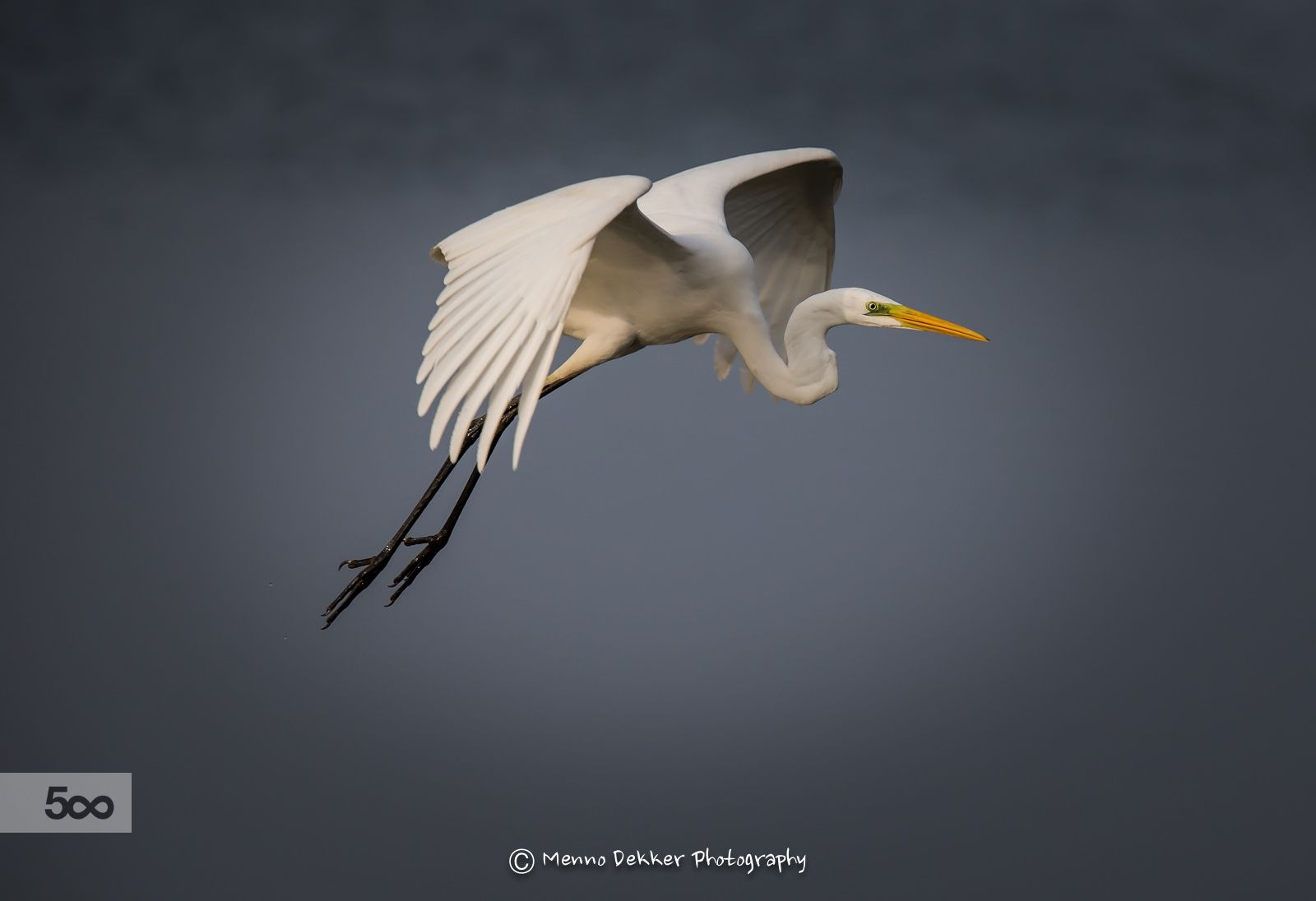 Great white Egret in flight by Menno Dekker on 500px