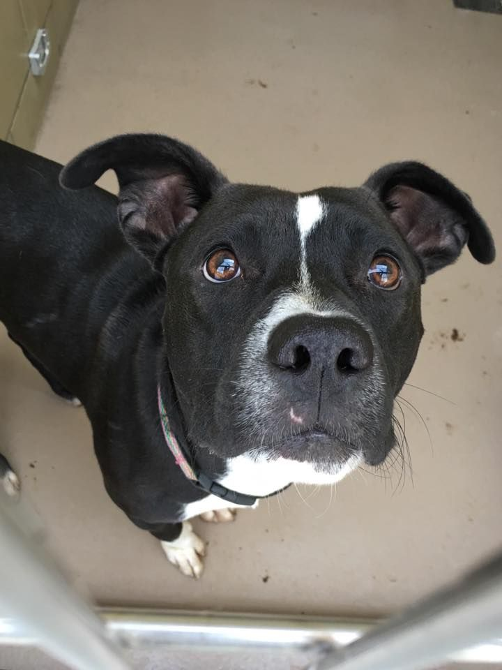 A BABY DUMPED BACK ON 11/9 JULIO - ID #A1233329 LINK TO VIDEO: http://www.youtube.com/watch?v=xpo0h6AUjrI I am a neutered male, black & white Pit Bull Terrier mix about 11 months old. For more info call: Riverside County Animal Control - (951) 358-7387 https://www.facebook.com/riversidepups/photos/a.1403050556684633.1073741828.1403036200019402/1504240833232271/?type=3&theater