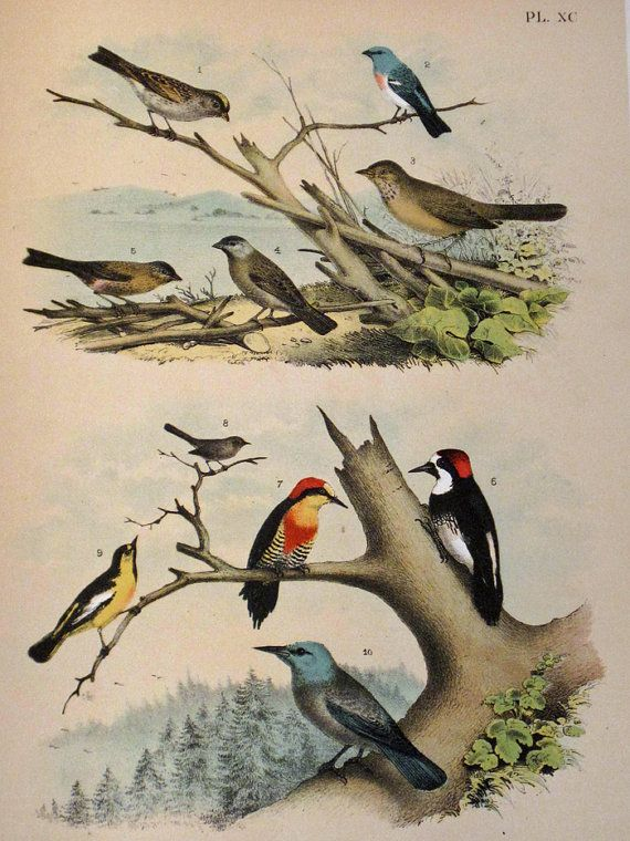 Over 100 c. 1895 Large Old Book Pages Featuring Gorgeous Birds - Priced $5 - $20! Come check them out!