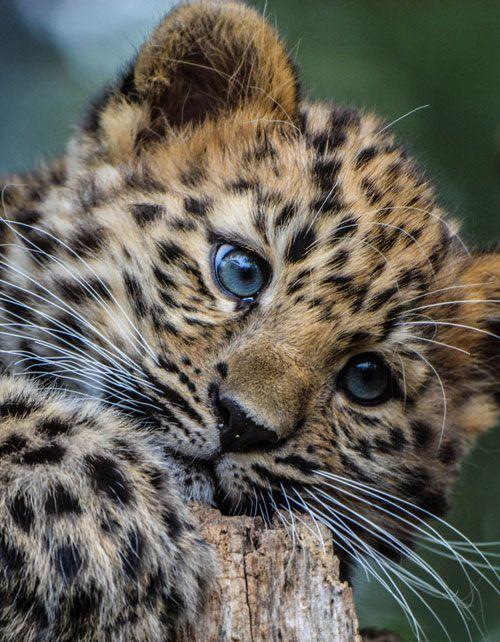 Beautiful Baby Jaguar in Wild