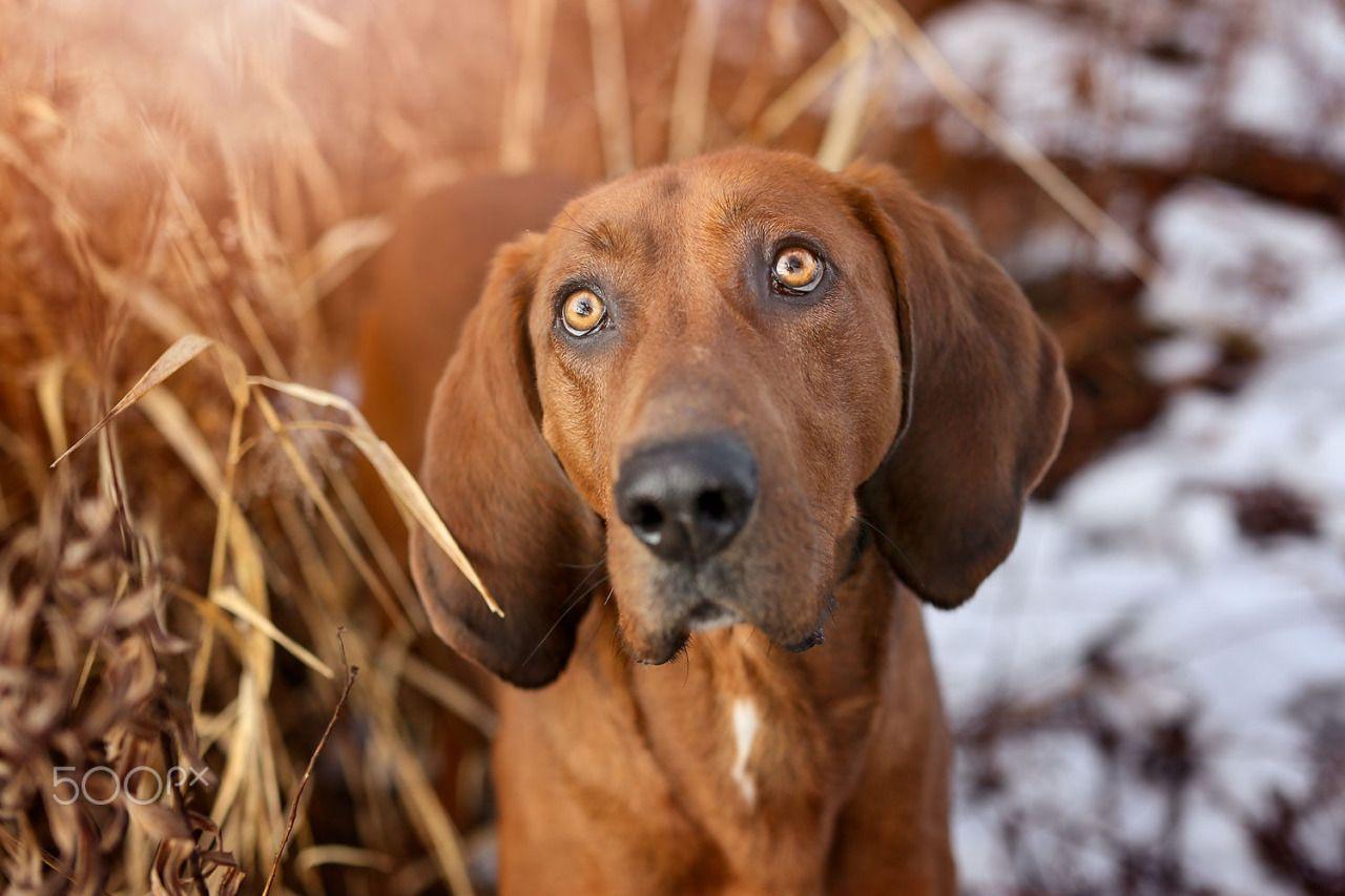 Jen Worrall | Diesel the Coonhound
