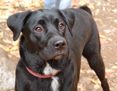 Jovie The Lab Australian Shepherd Sheprador Mix As A 9 Month Old Dog Labrador Retriever Australian Shepherd Mix Australian Shepherd