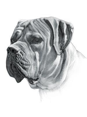 Amazing Boerboel Black Adorable Dog - 23ac9600b1f34dc28d971ca68eba877e  Pic_577751  .jpg