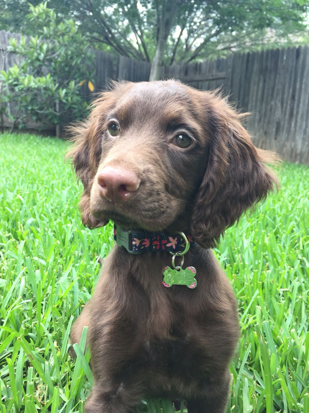 Sadie, my springer spaniel and Irish setter cross! | canine ...