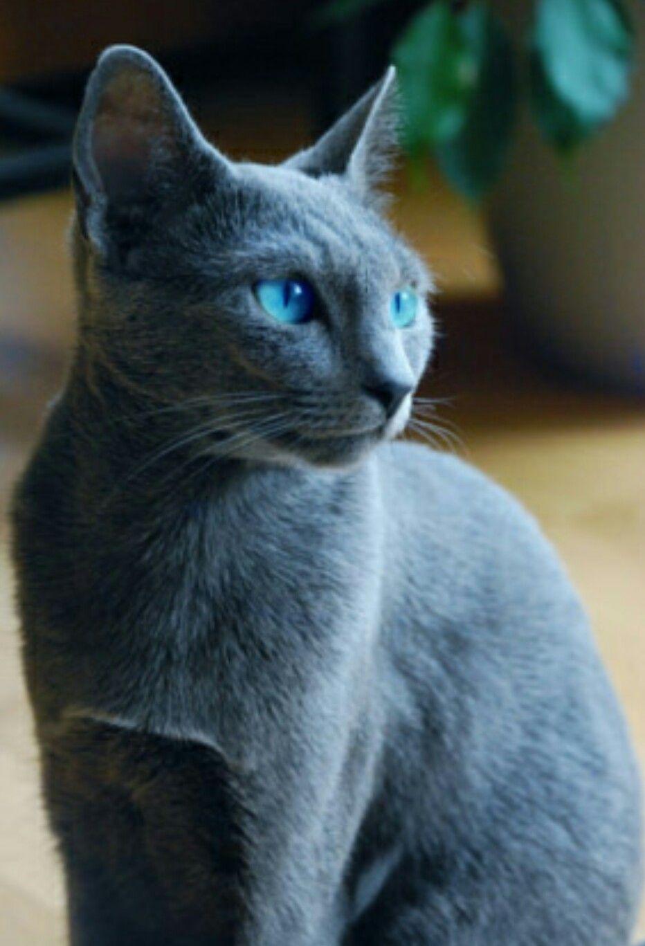 Bluestar Russian Blue Russian Blue Cat Personality Grey Cats