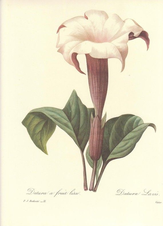 Pierre Joseph Redoute Datura A Fruit Lisse From Choix Des Plus Belles Fleurs Paris 1827 Stipple Engravings With Original Hand Coloring Sheet Size