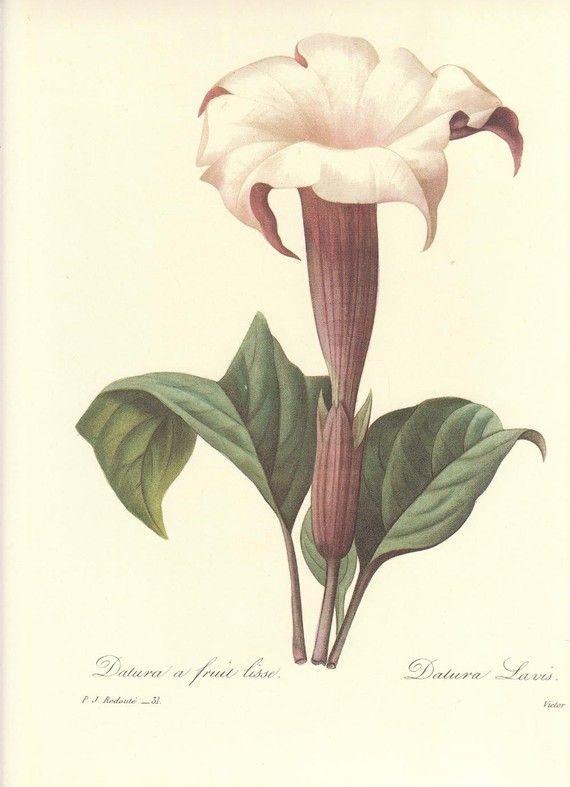 Pierre Joseph Redoute Datura A Fruit Lisse From Choix Des Plus Belles Fleurs Paris 1827 Stipple Engravings With Original Hand Coloring Sheet Size
