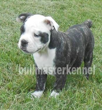Splash Is A Beautiful Black Brindle Olde English Bulldog Sweet
