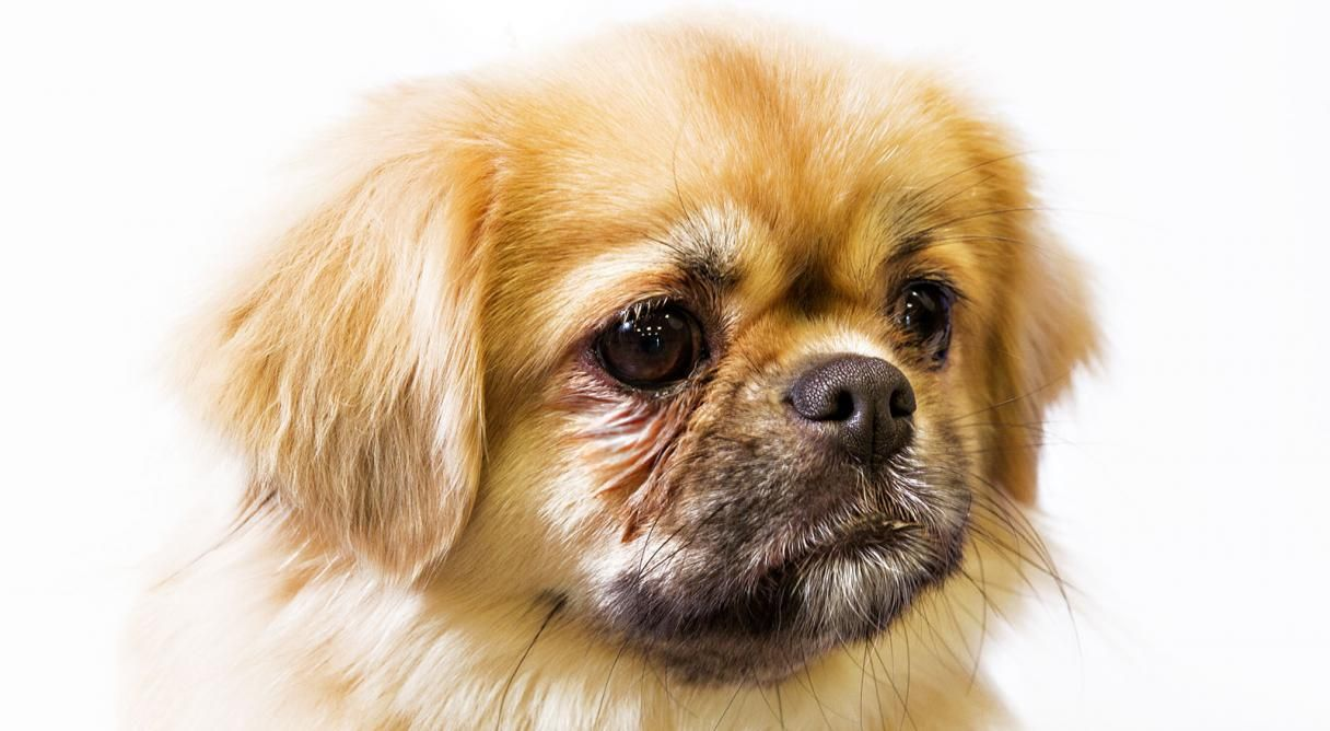 Tibetan Spaniel Dog Breed Information With Images Tibetan Spaniel Dog Breeds Purebred Dogs