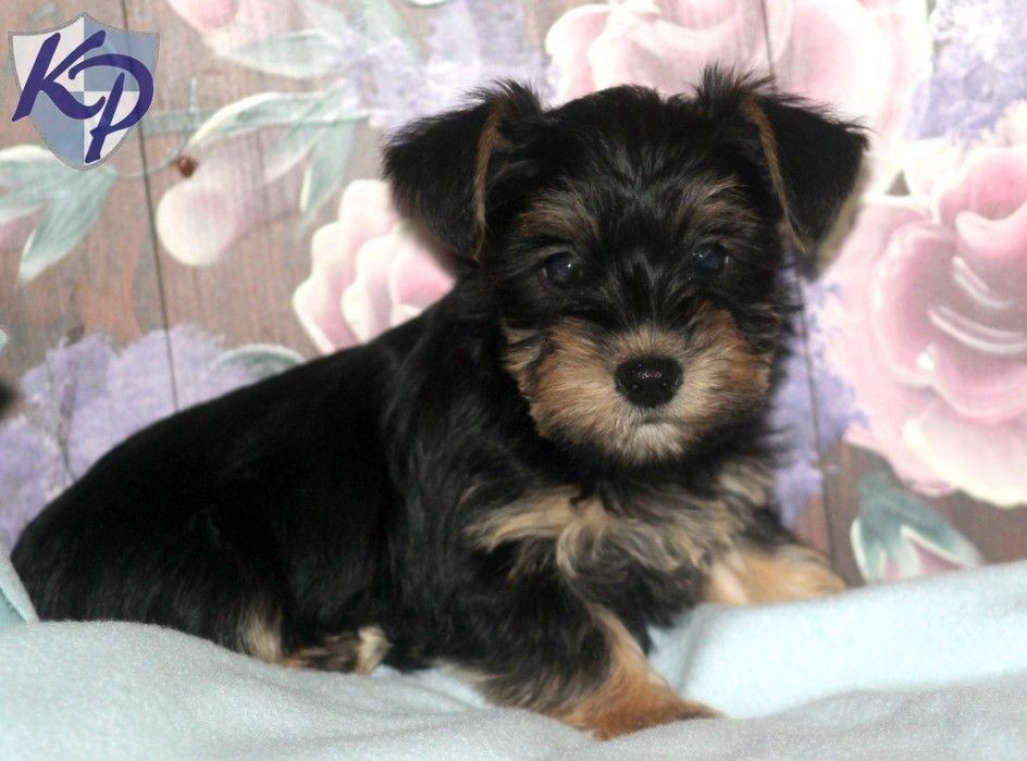 Puppy Finder Find Buy A Dog Today By Using Our Petfinder Shorkie Puppies Puppy Finder Cute Puppy Photos