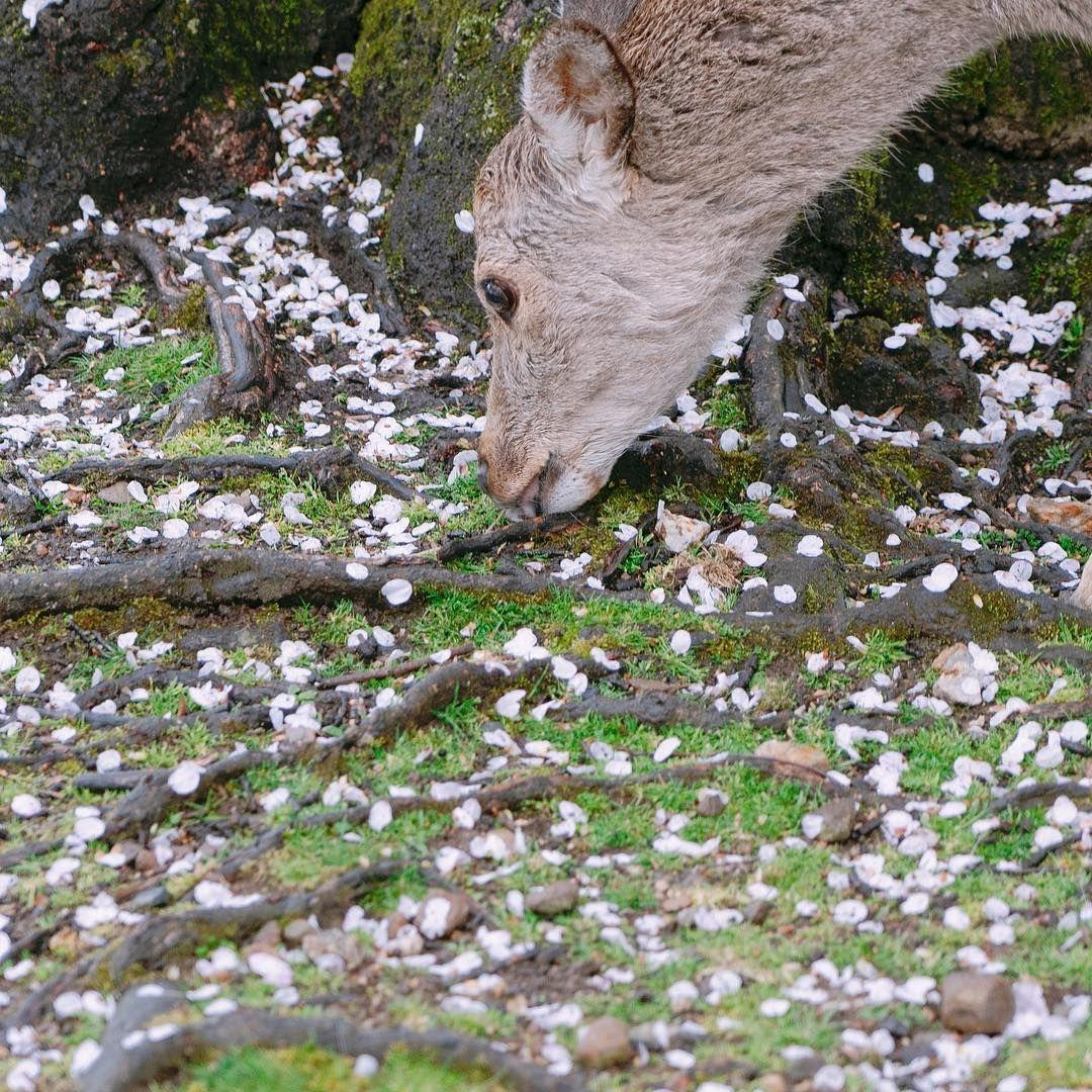 桜の花びらと鹿 散ってしまったソメイヨシノ 散った花びらも美しいですね  #奈良 #奈良市 #桜 #さくら #鹿 #奈良の鹿 #nara #naracity #spring    桜の花びらと鹿 散ってしまったソメイヨシノ 散った花びらも美しいですね  #奈良 #奈良市 #桜 #さくら #鹿 #奈良の鹿 #nara #naracity #spring #deer #naradeer #sakura #sakura #櫻花 #樱花 #cherryblossom  #ホテル日航奈良 #hotelnikkonara #nara #japan #flowers #flower #flowerbloom #flowerstagram