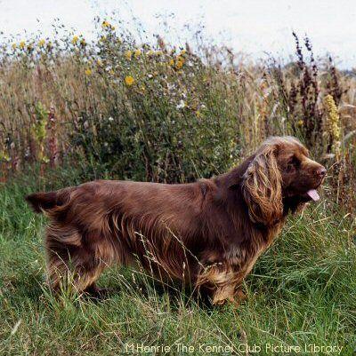 Bottom Left Sussex Spaniel Sporting Dogs Breeds Dog Breeds