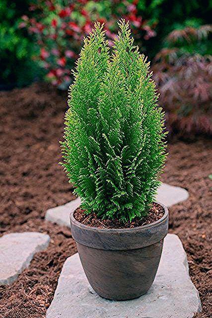 Photo of Hecke »Scheinzypresse Ellwood's Empire«, Höhe: 15-20 cm, 6 Pflanzen online kaufen | OTTO