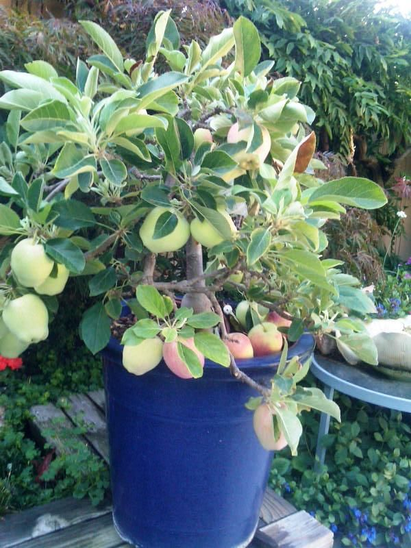 Guide To Ultra Dwarf Patio Fruit Trees
