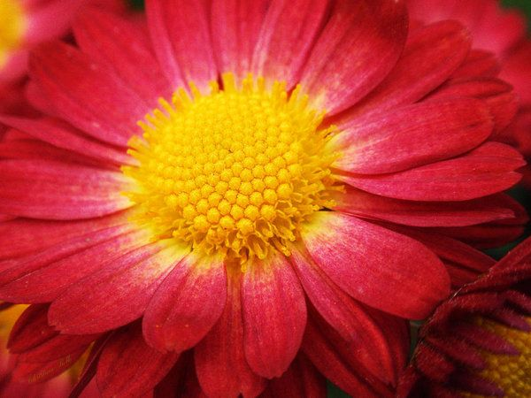 Red Chrysanthemum Print by Christina Rollo.  All prints are professionally printed, packaged, and shipped within 3 - 4 business days. Choose from multiple sizes and hundreds of frame and mat options.