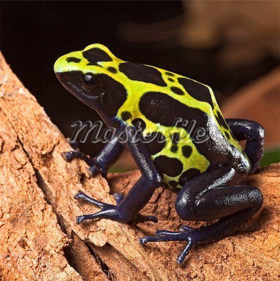 Blue Poison Arrow Frog Poison Dart Frogs Blue Poison Dart Frog