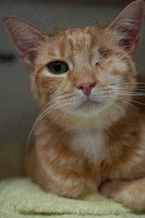 It Was A Mystery Thought Detective Meow Why Would Such A Lovely Orange And White Kitty Not Have Been Adopted Are The P Cat Adoption Cats And Kittens Animals