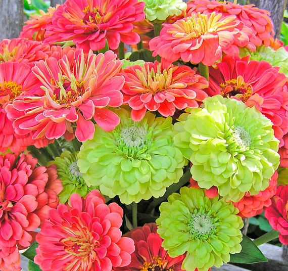 Zinnias Exclusive Custom Mix Coral and Lime Envy Green Heirloom