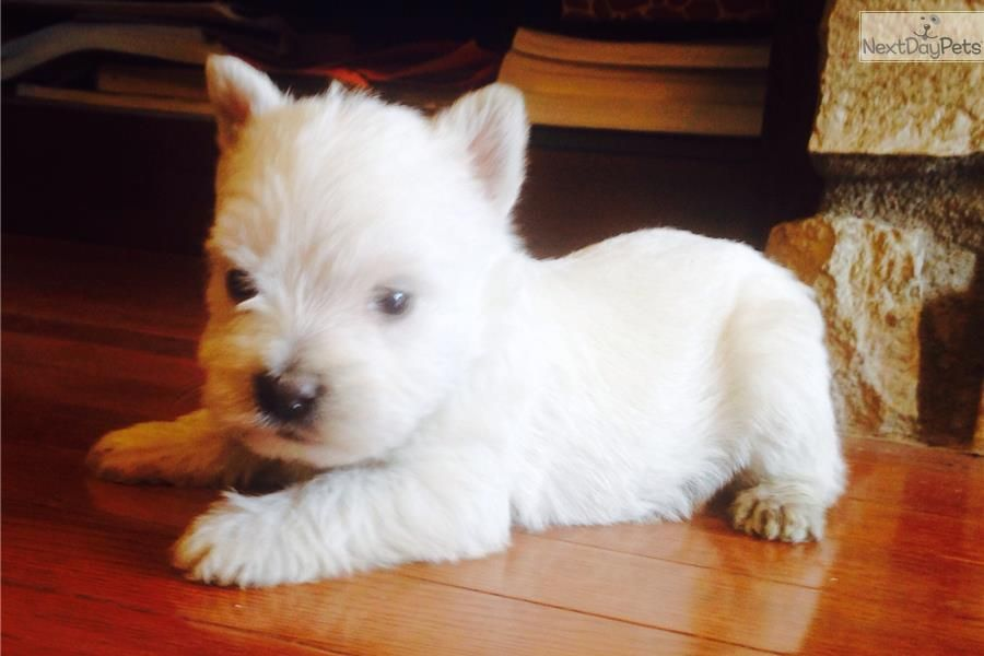 West Highland White Terrier Westie Puppy For Sale Near Salina