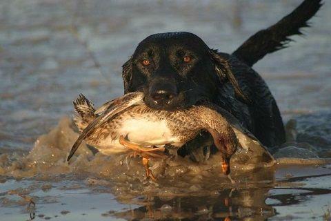 Teach your Dog to Love the Water  #GoDog #UplandGameAdventures #DogTraining #GunDog #BirdDog #RuffToughKennels #DogEnergy