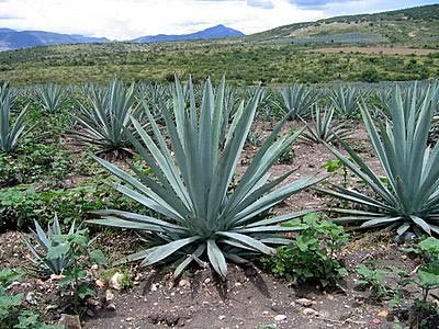 How Mezcal Is Made From The Agave Field To Worm In