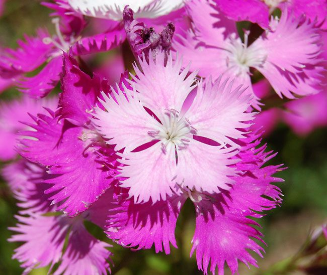 Dianthus First Love Wyoming Plant Company Plants Plant Companies Plant Study