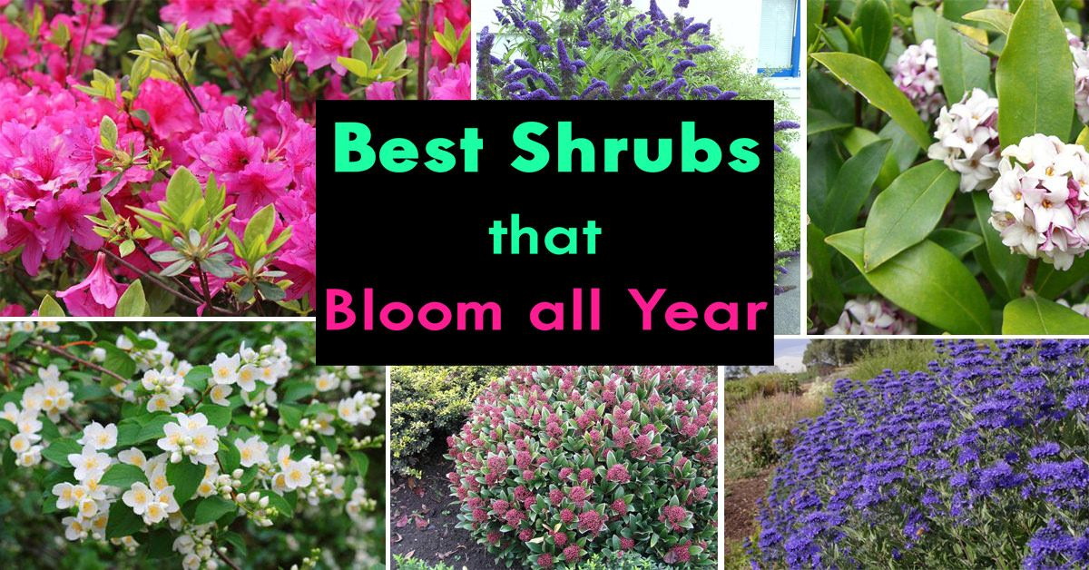 Best shrubs that bloom all year foundation planting flowering shrubs and shrub - Best flowering house plants ...