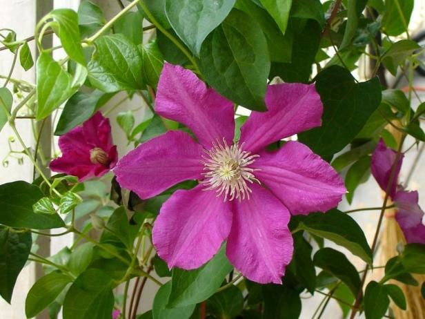 Learn how to grow gorgeous flowering vines like clematis morning learn how to grow gorgeous flowering vines like clematis morning glories honeysuckle and more mightylinksfo