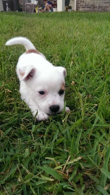 Cloud Is An Adoptable Italian Greyhound Chihuahua Dog In Conroe