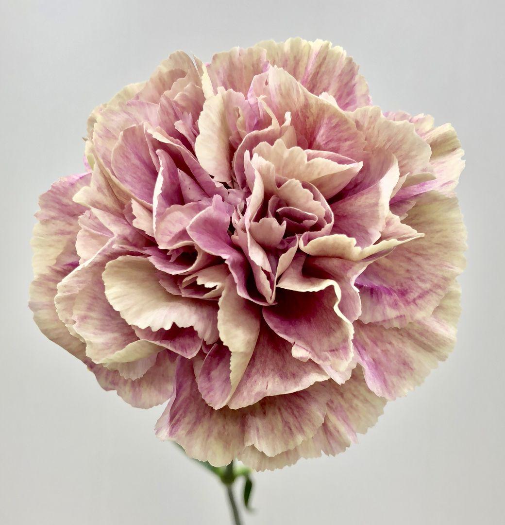 Antigua Carnation Carnations Flowers White Carnation