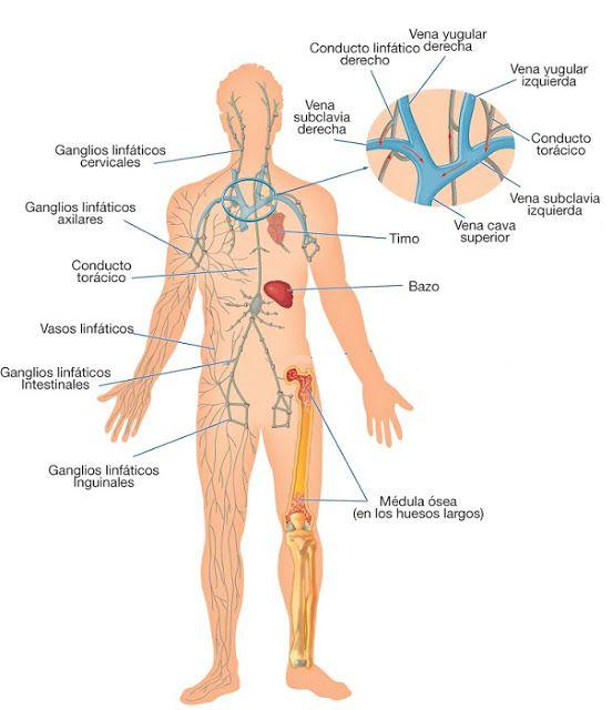 Fantástico Hembra Diagrama Del Sistema Linfático Regalo - Anatomía ...