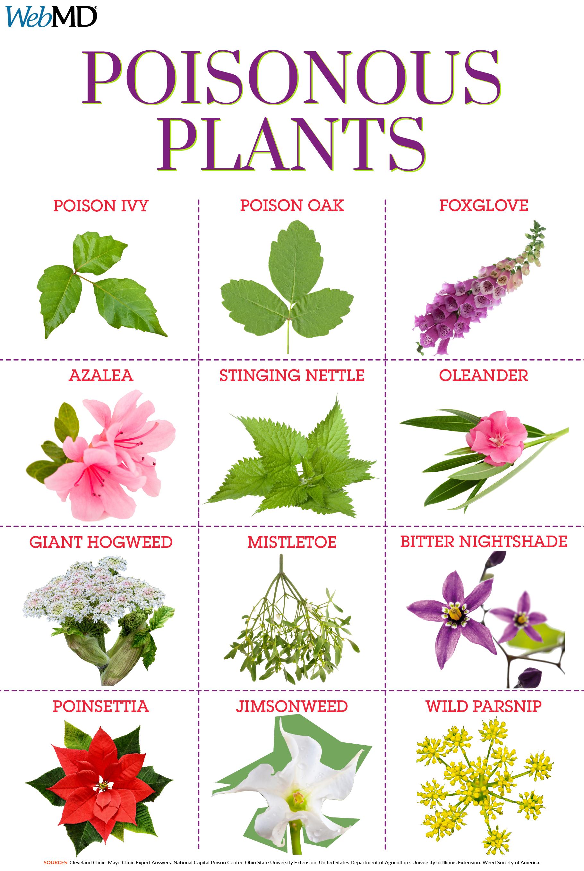 Slideshow Guide to Poisonous Plants Poisonous plants