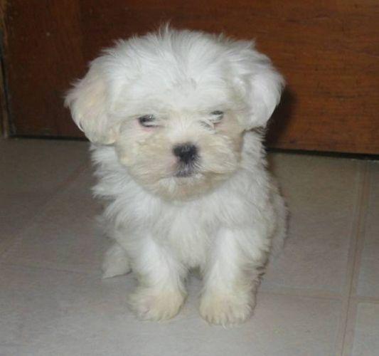 Shih Tzu Maltese Cross In White Maltese Puppy Puppies Shih Tzu