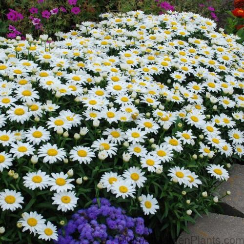 Photo of 'Snowcap' Shasta Daisy (Leucanthemum)