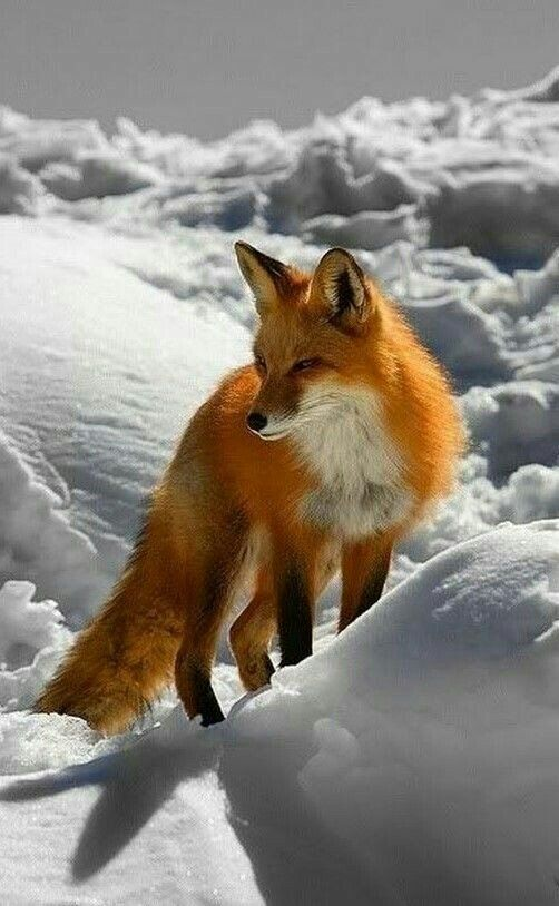 23 The Amazing Fox You Ve Never Seen Fox In Snow Animals Wild Fox