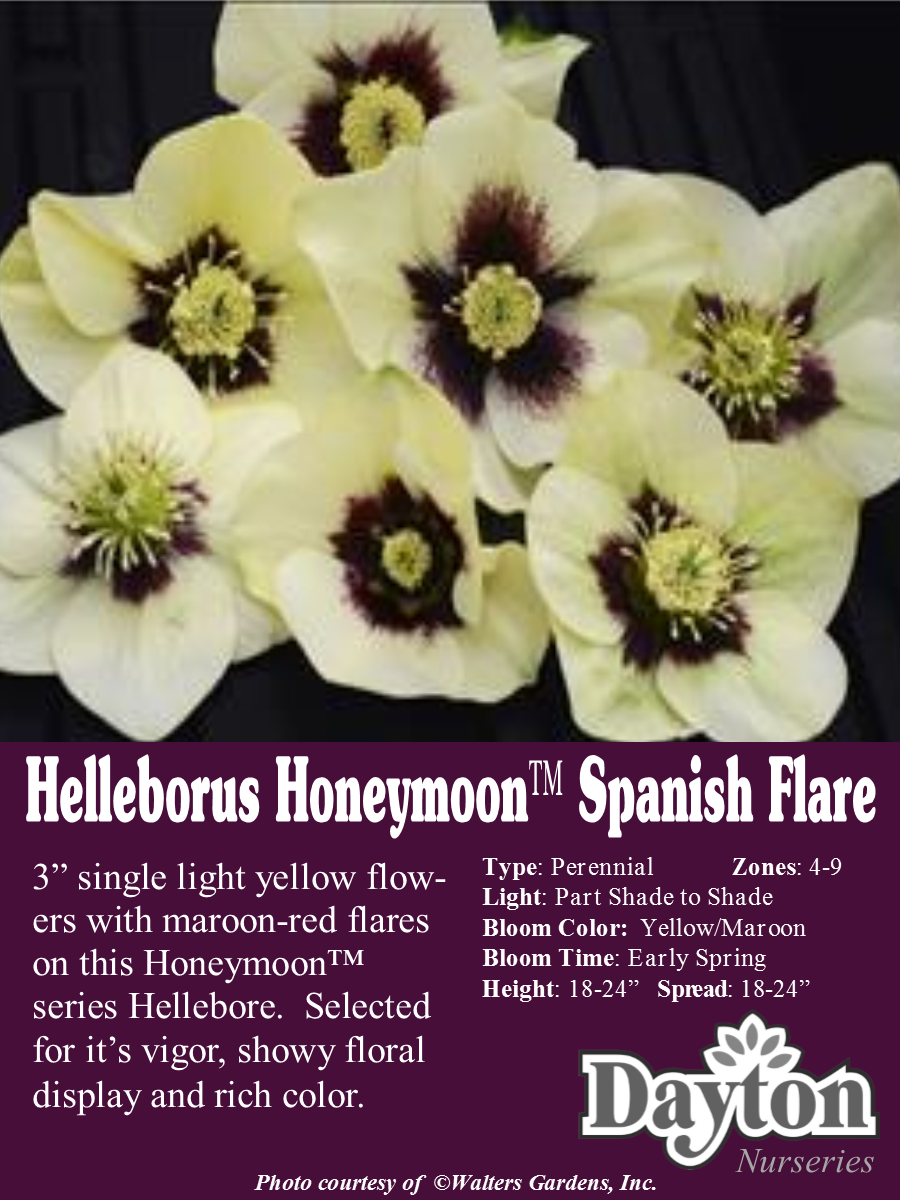 Helleborus Honeymoon Spanish Flare Spanish Flare Lenten Rose
