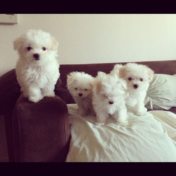 Maltese puppies!#Repin By:Pinterest++ for iPad#