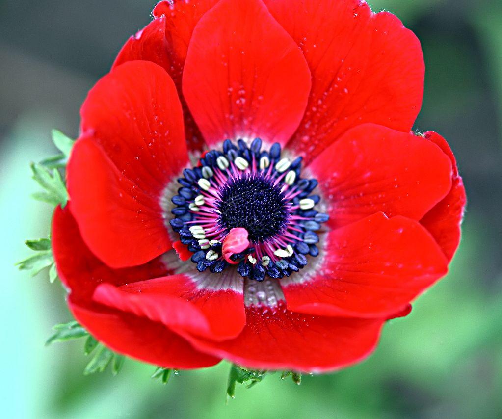 Anemone Coronaria Google Search Anemone Artificial Flowers Red Anemone