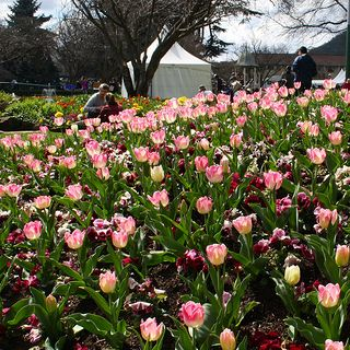 Tulips in bloom at Corbett Gardens Bowral NSW  The Southern