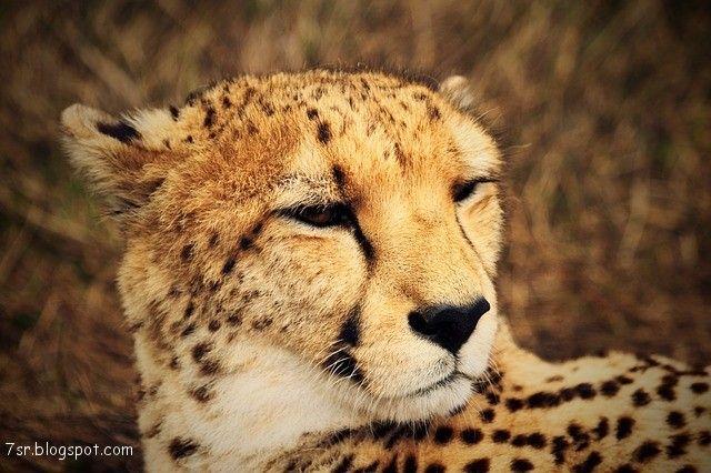 صور فهد أجمل صور حيوان النمر مع بعض المعلومات عنه Cat Care Pets Cats Cats And Kittens