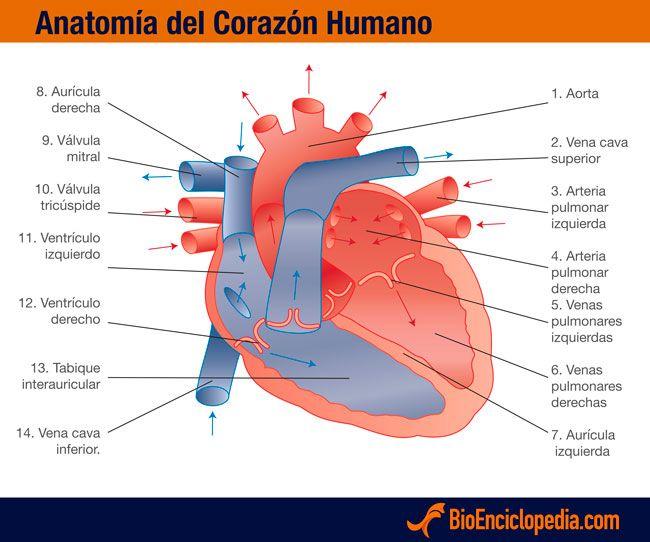 Anatomía del corazón humano | información y lecturas de interés ...