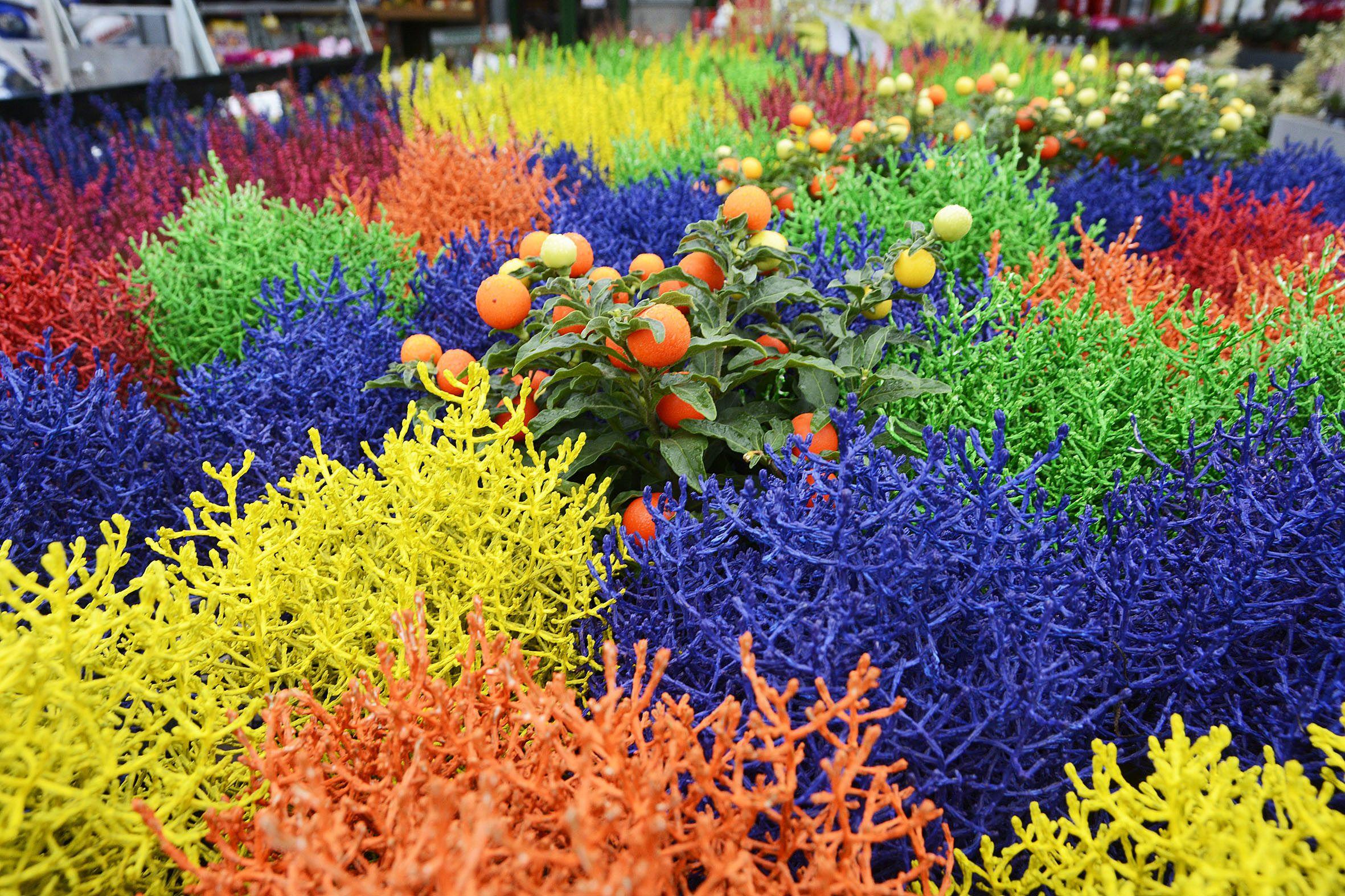 Garden Zanet vuole augurarvi buona giornata con i suoi coloratissimi arbusti Calocephalus brownii GardenZanet